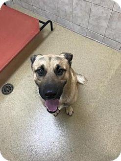 German Shepherd Dog Mix Dog for adoption in Miami, Florida - Marty