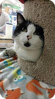 Domestic Shorthair Cat for adoption in Bensalem, Pennsylvania - Devo