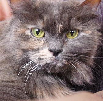 Domestic Longhair Cat for adoption in Oakland, California - Maisy