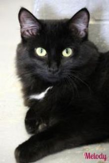 Domestic Longhair/Domestic Shorthair Mix Cat for adoption in Vinton, Iowa - Melody