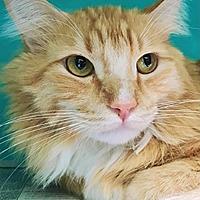 Adopt A Pet :: Tigger 223932 - Petaluma, CA
