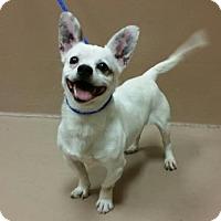 Adopt A Pet :: PALOMO - Reno, NV
