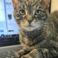 Adopt A Pet :: Lily (in foster home) - Noblesville, IN