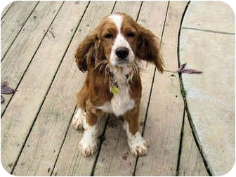 Cocker Spaniel Dog for adoption in Mahwah, New Jersey - Charlie