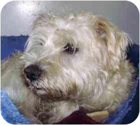 Cairn Terrier Mix Dog for adoption in Kansas City, Missouri - Courtesy List-A12433699-2/25