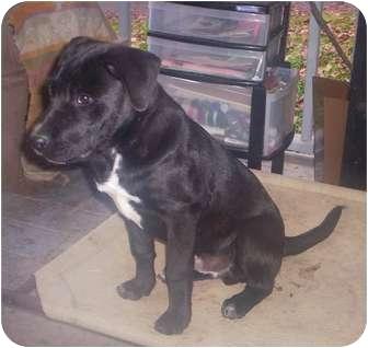 Labrador Retriever/Pit Bull Terrier Mix Dog for adoption in Foster, Rhode Island - Ranger