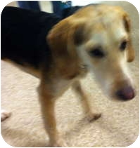 Beagle Mix Puppy for adoption in Loudonville, New York - Shay
