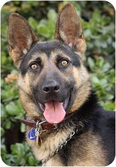 German Shepherd Dog Mix Puppy for adoption in Los Angeles, California - Chevy von Chase