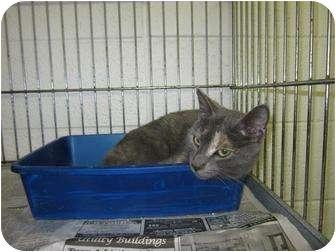 American Shorthair Cat for adoption in Henderson, North Carolina - Moony