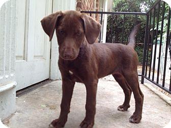 Labrador Retriever Mix Puppy for adoption in Cumming, Georgia - Justice