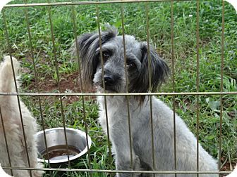 Schnauzer (Miniature)/Miniature Poodle Mix Dog for adoption in Syacuse, New York - Holly