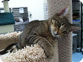 Domestic Shorthair Cat for adoption in Mission Viejo, California - Crumpet
