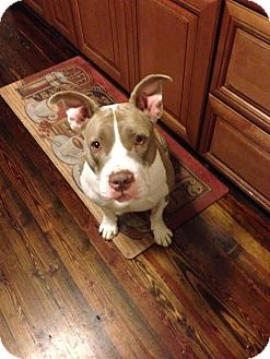 American Staffordshire Terrier Mix Dog for adoption in Hamilton, New Jersey - Chloe