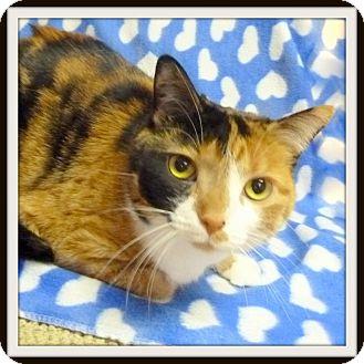 Calico Cat for adoption in Glendale, Arizona - Cali