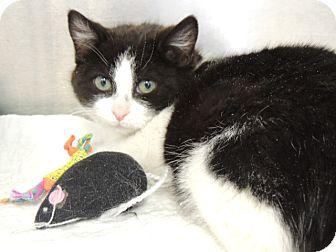 Domestic Shorthair Kitten for adoption in Briarcliff Manor, New York - Panda
