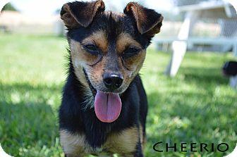 Chihuahua Mix Dog for adoption in Texarkana, Arkansas - Cheerio