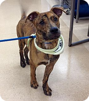 Boxer/Terrier (Unknown Type, Medium) Mix Dog for adoption in Olive Branch, Mississippi - Marbles