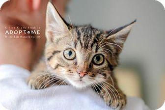Domestic Shorthair Kitten for adoption in Edwardsville, Illinois - Tink