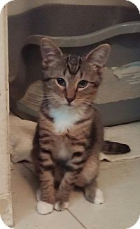Domestic Mediumhair Kitten for adoption in Cocoa, Florida - Nelson