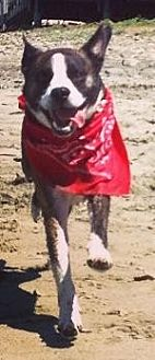 Australian Cattle Dog/Boston Terrier Mix Dog for adoption in Pt. Richmond, California - FREDDIE MERCURY