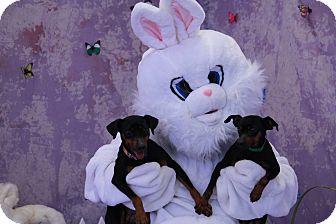 Miniature Pinscher Dog for adoption in Newburgh, Indiana - Libra
