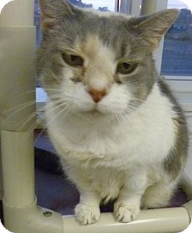 Domestic Shorthair Cat for adoption in Hamburg, New York - Patches