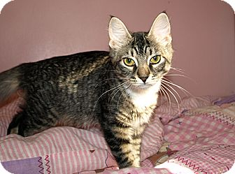 Domestic Mediumhair Kitten for adoption in DeLand, Florida - Sunny