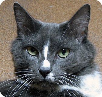 Domestic Longhair Cat for adoption in Norwalk, Connecticut - Buddy