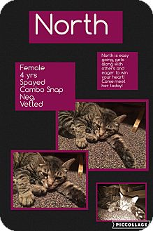 Domestic Shorthair Cat for adoption in CLEVELAND, Ohio - North