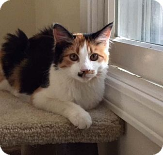 Domestic Mediumhair Kitten for adoption in Lombard, Illinois - Ellie