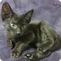 Adopt A Pet :: Lamb - Dallas, TX