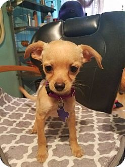 Chihuahua Mix Puppy for adoption in Houston, Texas - Rudy