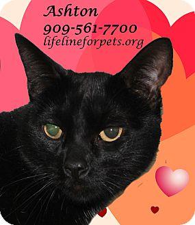 Domestic Shorthair Cat for adoption in Monrovia, California - A Sweet Male: ASHTON