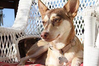 Corgi/Husky Mix Dog for adoption in Alamogordo, New Mexico - May