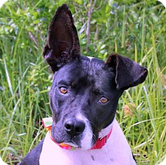 Terrier (Unknown Type, Small) Mix Dog for adoption in Loxahatchee, Florida - Ella
