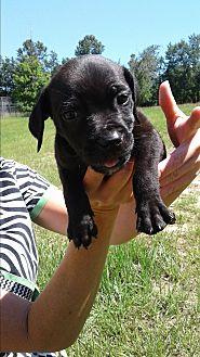 Labrador Retriever Mix Puppy for adoption in Barnwell, South Carolina - Reba