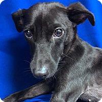 Adopt A Pet :: BECKETT - LAFAYETTE, LA