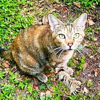 Adopt A Pet :: LUCY - PURRR Perfect - DeLand, FL