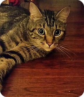 Domestic Shorthair Cat for adoption in Harrison, New York - Mallo