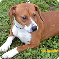 Beagle Mix Dog for adoption in Palm City, Florida - Bunny