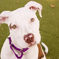 Adopt A Pet :: SIREN - Boston, MA
