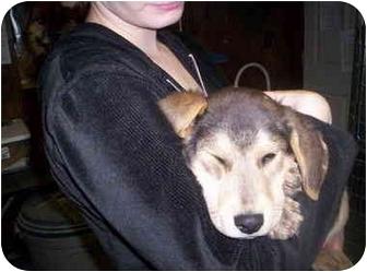 Shepherd (Unknown Type) Mix Puppy for adoption in Olney, Illinois - nooni