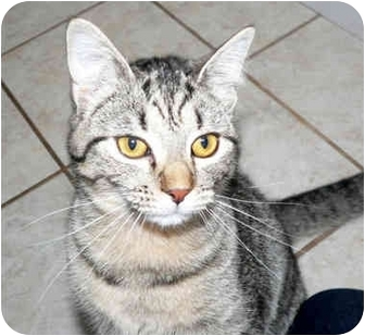 Domestic Shorthair Cat for adoption in Painesville, Ohio - Sammie