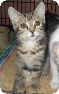 Domestic Shorthair Cat for adoption in Honesdale, Pennsylvania - Zoe