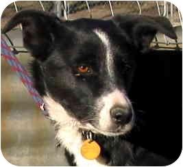 Border Collie Dog for adoption in Phelan, California - MADDIE
