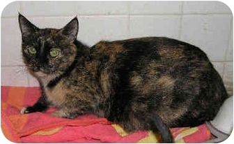 Domestic Shorthair Cat for adoption in Yorba Linda, California - Fifi