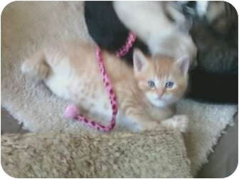 American Shorthair Kitten for adoption in Whitestone, New York - Pinky