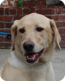 Labrador Retriever Dog for adoption in Brooklyn, New York - Diva