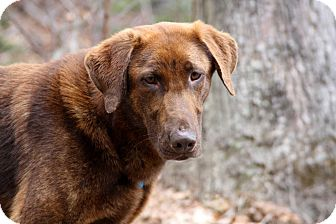 Setter (Unknown Type) Mix Dog for adoption in Salem, New Hampshire - RED LILY