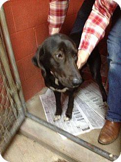 Labrador Retriever Mix Dog for adoption in East Hartford, Connecticut - sara in CT
